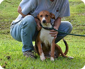 Beagle/Hound (Unknown Type) Mix Dog for adoption in Groton, Massachusetts - Carley