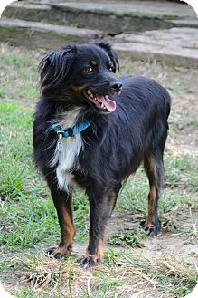 Australian Shepherd/Chihuahua Mix Dog for adoption in Staunton, Virginia - Boo