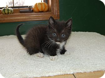 Domestic Shorthair Kitten for adoption in North Judson, Indiana - Penguin