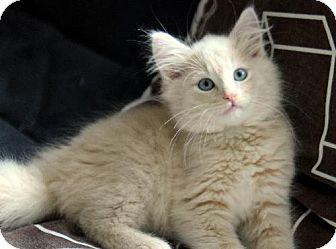 Japanese Bobtail Kitten for adoption in HILLSBORO, Oregon - Sirius