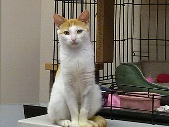 Domestic Shorthair Cat for adoption in Belton, Missouri - Scotchie