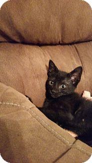 Domestic Shorthair Kitten for adoption in Houston, Texas - Topaz