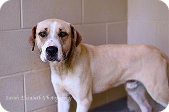 Retriever (Unknown Type) Mix Dog for adoption in Columbus, Georgia - Banjo 0172