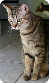 Domestic Shorthair Cat for adoption in Alvin, Texas - Emily