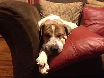 St. Bernard/Great Pyrenees Mix Dog for adoption in Mandeville, Louisiana - Mina