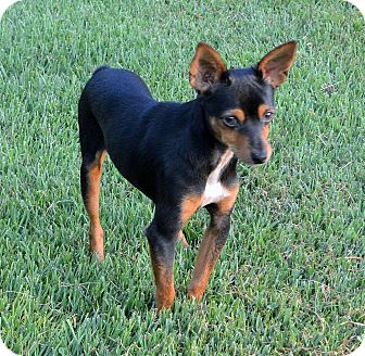 Miniature Pinscher/Yorkie, Yorkshire Terrier Mix Dog for adoption in Plainfield, Connecticut - Gizmo