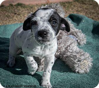Chihuahua Mix Puppy for adoption in Phoenix, Arizona - Jack