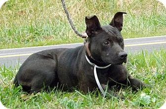 Labrador Retriever/Boxer Mix Dog for adoption in Batavia, Ohio - Shania