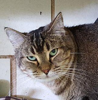 Domestic Shorthair Cat for adoption in Lago Vista, Texas - Sheyla