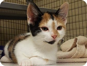 Domestic Shorthair Kitten for adoption in Grants Pass, Oregon - Roxy