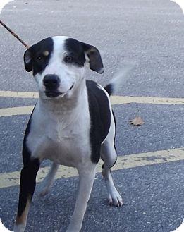 Boxer/Australian Shepherd Mix Dog for adoption in Cheboygan, Michigan - Mister