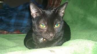 Domestic Shorthair Cat for adoption in Columbus, Ohio - Wynonna