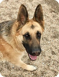 German Shepherd Dog Dog for adoption in Federal Way, Washington - Annabelle - Sweet and Polite