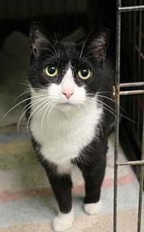 Domestic Shorthair Cat for adoption in Yukon, Oklahoma - Teeny