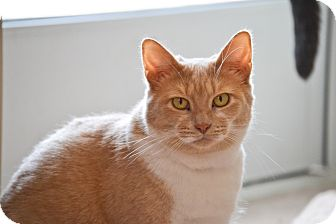 Domestic Shorthair Cat for adoption in Byron Center, Michigan - Polly