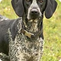 Adopt A Pet :: Duke - Cashiers, NC