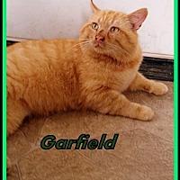 Adopt A Pet :: Garfield - Berkeley Springs, WV