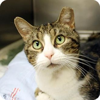 Domestic Shorthair Cat for adoption in Richmond, Virginia - Bobcat