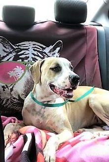 Labrador Retriever/Pointer Mix Dog for adoption in Beaumont, Texas - Gigi