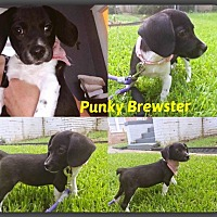 Adopt A Pet :: Punky Brewster - DeForest, WI