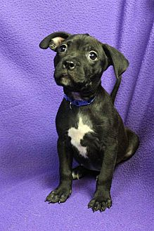 Mixed Breed (Medium) Mix Puppy for adoption in Westminster, Colorado - Hoops