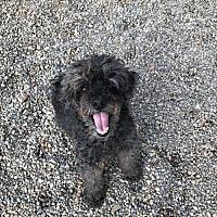 Adopt A Pet :: Rambo - Holland, MI