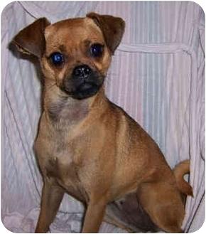 Chihuahua/Pug Mix Dog for adoption in Owatonna, Minnesota - Kiki