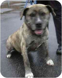 Mastiff/American Staffordshire Terrier Mix Dog for adoption in West Warwick, Rhode Island - Zeus