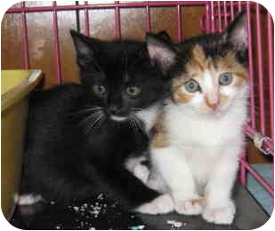 Calico Kitten for adoption in Randolph, New Jersey - Ernie and Regina