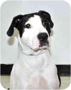 Pointer Mix Dog for adoption in Port Washington, New York - Maggie
