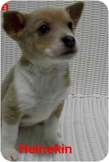 Terrier (Unknown Type, Medium) Mix Puppy for adoption in Slidell, Louisiana - Heinekin