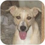 Australian Shepherd/Labrador Retriever Mix Dog for adoption in Colorado Springs, Colorado - Prissy