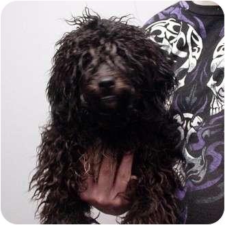 Lhasa Apso/Poodle (Miniature) Mix Dog for adoption in Manassas, Virginia - Fontana