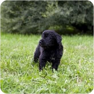 Labrador Retriever Mix Puppy for adoption in Ile-Perrot, Quebec - Corduroy