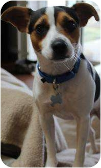 Jack Russell Terrier Dog for adoption in San Pedro, California - Bentley