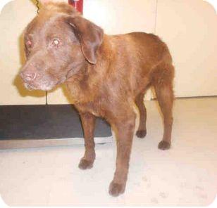 Chesapeake Bay Retriever Mix Dog for adoption in Yuba City, California - Unnamed