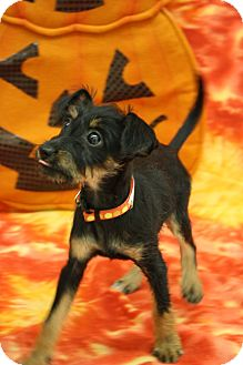 Terrier (Unknown Type, Small)/Miniature Pinscher Mix Puppy for adoption in Broomfield, Colorado - 00000001Pixie