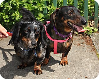 Dachshund Dog for adoption in Bellingham, Washington - Roxy