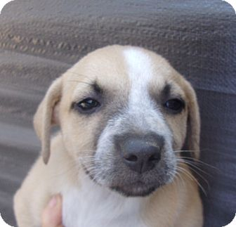 Shepherd (Unknown Type)/Labrador Retriever Mix Puppy for adoption in Coudersport, Pennsylvania - MINDY