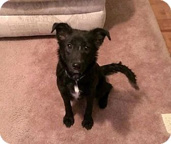 Terrier (Unknown Type, Medium)/Border Collie Mix Dog for adoption in Staunton, Virginia - Izzy