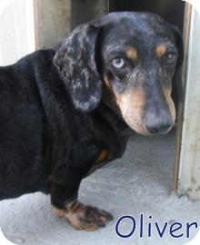 Dachshund Dog for adoption in Georgetown, South Carolina - Oliver