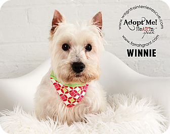 Westie, West Highland White Terrier Dog for adoption in Omaha, Nebraska - Winnie