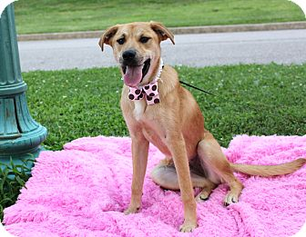 Labrador Retriever Mix Dog for adoption in Clarksville, Tennessee - Maxine