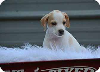 Labrador Retriever Mix Puppy for adoption in Groton, Massachusetts - Lacy