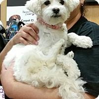 Adopt A Pet :: Powdered Sugar - maltipoo! - Phoenix, AZ