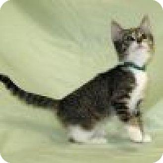 Domestic Shorthair Cat for adoption in Powell, Ohio - Eleena