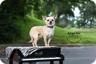 Chihuahua Dog for adoption in Shawnee Mission, Kansas - Little Foot