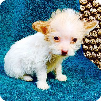 Yorkie, Yorkshire Terrier/Chihuahua Mix Puppy for adoption in Santa Monica, California - Pinkie