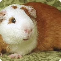 Adopt A Pet :: Mr. Possum - Santa Barbara, CA