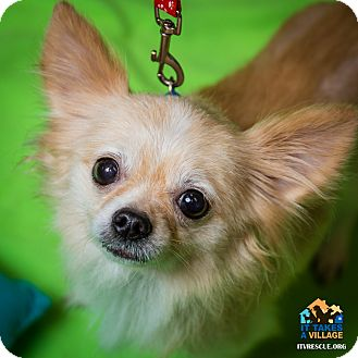 Chihuahua Mix Dog for adoption in Evansville, Indiana - Bentley